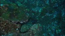 Hieroglyphic Hawkfish Rests On Rocky Reef