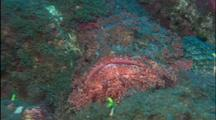 Scorpionfish Rests On Bottom