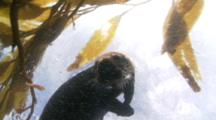 Sea Otter Plays At The Surface In Kelp