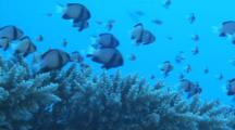 Damselfish Swimming Over Coral, Zoom In