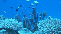 Damselfish Swimming Over Coral