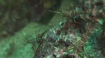 Hinge-Beak Shrimp On Reef