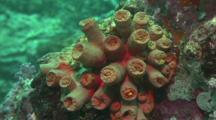 Closed Up Tubastrea Cup Coral