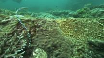 Banded Sea Snake Travels Hunts On Reef
