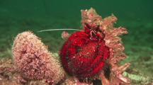 Large Red Hermit Crab Feeds On Short-Spined (Collector) Urchin