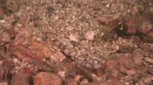Flathead, Possibly Crocodile Fish, Camouflaged In The Sand