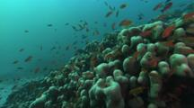 Swim Over Reef, Mostly Hard Corals, Lined Snappers, Red Tail Butterfly Fish