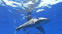 Oceanic Whitetip Shark Swims At Surface