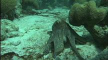 Octopus Crawls Over Coral