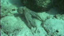 Octopus Hides Behind Rock