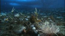 Sea Anemones Line Bottom