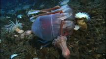 Sea Anemones Eating A Jellyfish