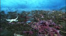 Large Group Of Sea Stars Under Ice