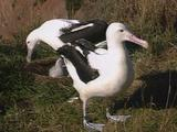Mws Albatross Parents Moves Off Chick In Nest, Other Parent Takes Its Place