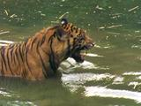 Tiger Splashing About In Waterhole, Curious About Something On Bank