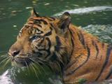Tiger Splashing In Waterhole, Alert And Curious