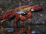 Sally Lightfoot Crab Eating Lichen From Rock Pool Edge