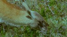 Guanaco Llama Browsing On Prickly Shrub