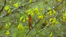Juan Fernandez Firecrown Male Feeding On Nectar