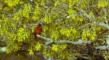 Juan Fernandez Firecrown Feeding On Sophora Flowers