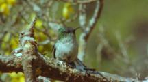 Juan Fernandez Firecrown Hummingbird Female In Sophora Tree