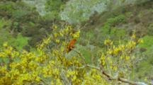 Juan Fernandez Firecrown Hummingbird Male In Sophora Tree