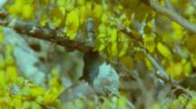 Juan Fernandez Firecrown Hummingbird Female Feeding, Hovering