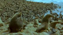 Fur Seal Colony Rocky Shore