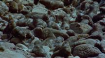 Fur Seal Pups, Nursery, Rocky Shore