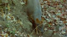 Pudu Walking, Leaf Covered Ground