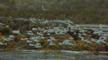 South American Terns Taking Flight From Rocky Coast