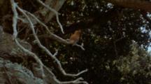 Juan Fernandez Firecrown Hummingbird In Tree, Flying