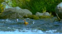 Torrent Duck And Drake Standing On Rocks And Diving Into Fast-Flowing River