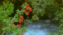 Chilean Fire Bush, Bright Red Flowers With River In Bg