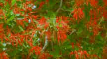 Chilean Fire Bush With Bright Red Flowers
