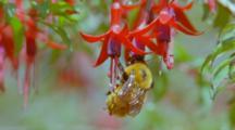 Bumblebee Feeding On Nectar Of Red And Purple Fuchsia Flowers