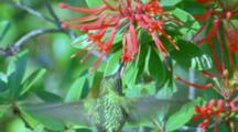 Green-Backed Firecrown Hummingbird Feeding In Red Flowering Trees