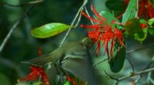 White-Crested Elaenia Fiofio Flies Up To Red Flowers Hovering And Feeding