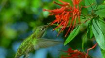 Green-Backed Firecrown Hummingbird Flies Up To Red Flowers Hovering And Feeding