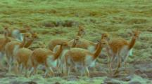 Guanaco Llama Herd Running On Green High Plateau