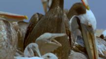 Peruvian Pelicans In Colony With Hungry Chicks, Feeding Frenzy