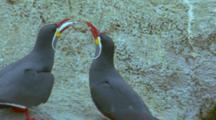 Inca Tern Courting Behaviour, Male Offering Fish Then Flying Away