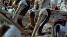 Chaotic Peruvian Pelican Nesting Colony With Squabbling Birds