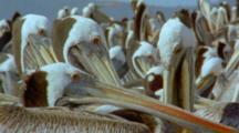 Crowded Peruvian Pelican Nesting Colony