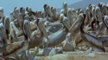 Chaotic Crowded Nesting Colony Of Peruvian Pelicans With Chicks And Adults