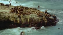 South American Sea Lions Diving Off Rock Into Sea, Rough Waves