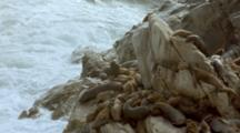South American Sea Lion Colony On Rocks With Large Breaking Waves