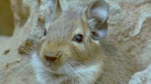 Degu Head Looking Around, Sniffing, Cute