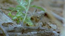 Degu Feeding On Green Leafy Vegetation, Nibbling