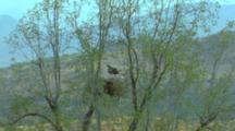 Black-Chested Buzzard Eagle Lands At Nest